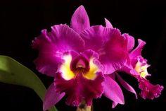 As criaturas visíveis refletem certas características do mundo espiritual. A variedade das orquídeas torna-se um símbolo das almas criadas por Deus.