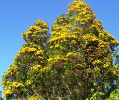 Golden Myrtle tree (Thaleropia queenslandica)