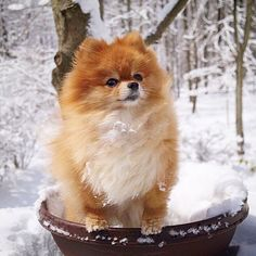 OMG...April...Seriously? Well at least someone's enjoying it! by monique_ginger #pomeranian