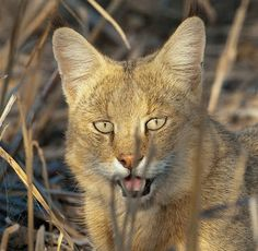 The jungle cat (Felis chaus) is a medium-sized cat native to Asia from southern China in the east through Southeast and Central Asia to the Nile Valley in the west. Big Cats, Cool Cats, Rusty Spotted Cat, Animals And Pets, Cute Animals, Wild Animals, Sand Cat, Clouded Leopard, Rare Cats