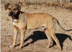 Lab/Pittie Mix Looking for Forever Home. Buckshot is at the Edmond Animal Shelter in Edmond, OK