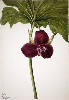 Mary Vaux Walcott: Sweet Trillium (Trillium vasyi), 1934