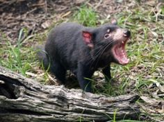 August 28, 2015. Extinction Countdown News and research about endangered species from around the world. Yet Another Disease Is Attacking Tasmanian Devils. At: http://blogs.scientificamerican.com/extinction-countdown/disease-tasmanian-devils/