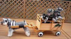 schnauzer puppy wagon....Are you kidding?