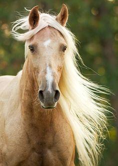 Horse Heaven. Palomino with long blonde mane.
