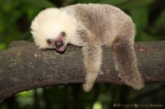 Série com o Bicho-preguiça, Preguiça (Bradypus infuscatus) - Series with the Brown-throated Sloth - 19-05-2010 - IMG_8457