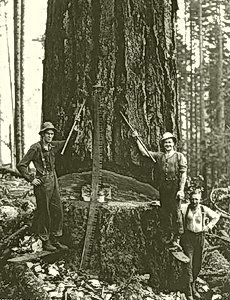 Cathedral Grove | Big Trees: Pictures & Politics | Big Trees as Trophies