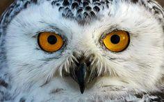 Snowy Owl.......