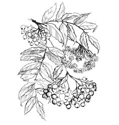 33. Rowan branch drawing vector