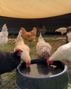 """Woodstock Farm Sanctuary on Instagram: """"Sound on🔈🔈for the sweet sounds of the #HudsonValley100 hens enjoying a drink❤️ Who knew hydrating could be so elegant?? Reminder to drink…"""" Cute Animal Videos, Hens, Cute Animals, Drink, Elegant, Sweet, Instagram, Pretty Animals"""