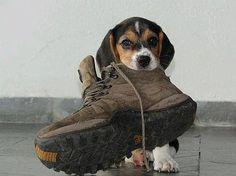 #beagle #cute #pup