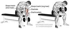 """Concentration curl. An isolation exercise. Target muscle: Brachialis, not the Biceps Brachii! Synergists: Biceps Brachii (especially the outer or long head) and Brachioradialis. Visit site and read the """"Comments and tips"""" to learn how the position of your elbow controls which muscle is the target."""