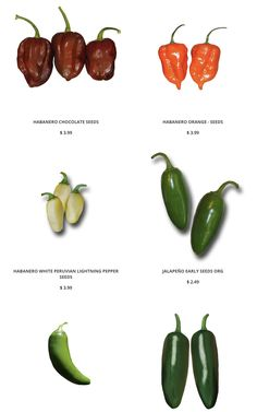 Our collection of Hot Peppers include: Several varieties of Jalapeño seeds, Cayenne, Jalmundo, Jwala Finger Hot, Goat Horn, Serrano, Bulgarian Carrot, Devil's Tongue, Fatalii, Red Caribbean Habanero, Chocolate Habanero, Peruvian White Habanero, Pequin, Yellow Scotch Bonnet, Tabasco, Thai Hot. Our term Hot Peppers here covers the heat range of 12,000 to 450,000 Scoville Heat Units. Now that's spicy, yet still edible!