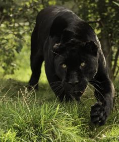 Wildlife Animals & Nature — . Black Jaguar Series. Photography by (Colin...