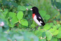Rose Breasted Grosbeak  Backyard Bird by FeatherWindStudio on Etsy