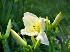 A Beautiful Creamy White Lily by Cynthia Woods