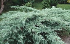 Grey Owl Juniper Juniperus virginiana 'Grey Owl' Finely textured evergreen shrub with arching branches clothed with soft, silvery-gray needles. Evergreen Landscape, Evergreen Shrubs, Trees And Shrubs, Juniper Shrub, Juniper Plant, Olive Garden Delivery, Ground Cover Plants, Gray Owl, Garden Shrubs