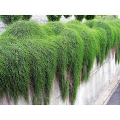 Buy Casuarina Glauca IT Plant online from Online Plants Melbourne. Casuarina Glauca Cousin IT Prostrate: Pot Size This is potentially the most useful ground cover you will ever use. Australian Native Garden, Australian Plants, Landscaping Plants, Garden Plants, Bamboo Garden, Back Gardens, Outdoor Gardens, Bush Garden, Native Australians