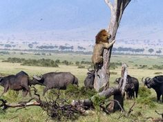 Este leão que a partir de agora vai pensar duas vezes antes de passear no meio de um rebanho de búfalos selvagens.