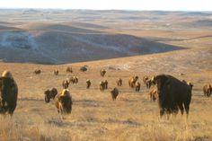 Ces bisons peuplent les plaines du Midwest depuis des centaines d'années. Ils effectuent leur migration selon un axe est-ouest qui aurait, d'après la légende, aidé au tracé des grandes lignes de chemin de fer.