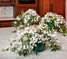 Send a Jasmine indoor garden for the winter months - from White Flower Farm