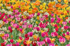 Beautiful flowers in Holland, colorful Tulips in Spring,red,yellow orange, all colors of the rainbow