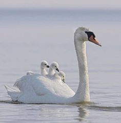 A beautiful swan family! Beautiful Swan, Beautiful Birds, Animals Beautiful, Beautiful Family, Animals And Pets, Baby Animals, Cute Animals, Swans, Cygnus Olor