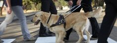The South African Guide Dog Association provides trained dogs to help the blind live independent lives & aims to change the perception of visual impairment. Guide Dog, Chameleon, Saga, Spotlight, African, Training, Animals, Animales, Animaux