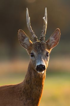 Portrait of blind roe deer by JMrocek.deviantart.com on @DeviantArt