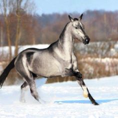 Unusual Horse Breeds | An akhal teke breed of horse, unique, beautiful confirmation and great ...