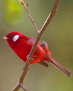 Red Warbler, endemic to the highlands of Mexico, north of the Isthmus of Tehuantepec.