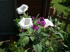 Angle Trumpet with Petunias in the background.