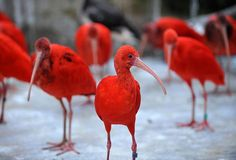 stunning colour of scarlet ibis  they're known to be one of the most attractive bird of south america for their extremely bright and stunning plumage  more: www.save-our-green.com/allpost