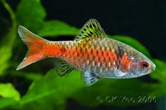 This species has been in the aquarium trade since the early 1970s but its precise origin was a mystery until 2003. It first appeared in Ukraine, the common name 'Odessa' being derived from the port city of that name, and when it arrived in western Europe was widely considered a hybrid of similar-looking congeners such as P. conchonius, P. ticto and P. cumingii. It was also hypothesised as a subspecies of P. ticto or P. conchonius, and some suggested the fish to be artificially dyed.