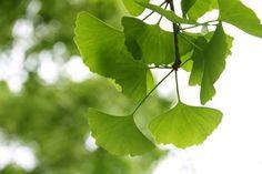Ginkgo biloba: propiedades, beneficios para la salud, efectos colaterales y dosis recomendada