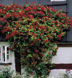 Astrid: Slyngrose flammentanz slyngrose eller anden kraftig rød rose til espalier/væg