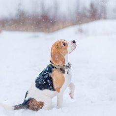 Lovely #beagle