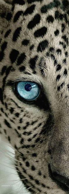 worlds-evolution:  Leopard