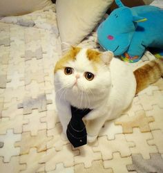 Snoopy the cat - Internet sensation Snoopy the Cat has becoming an overnight celebrity and it's pretty obvious why. Snoopy is probably the most adorable cat I. The Animals, Safari Animals, Grumpy Cat, Chat Scottish Fold, Snoopy Cat, Cutest Cats Ever, Animal Gato, Funny Animal, Exotic Shorthair