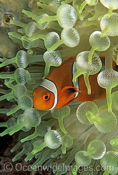 Spine-cheek Anemonefish (Premnas biaculeatus) - juvenile amongst anemone tentacles. Also known as Tomato Clownfish. Underwater Animals, Underwater Creatures, Underwater Life, Ocean Creatures, Life Under The Sea, Under The Ocean, Sea And Ocean, Beautiful Creatures, Animals Beautiful