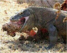 Komodo Dragon Eating Goat