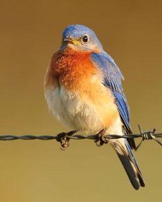 A new bird to add to my life list-Eastern Bluebird - Whatbird.com