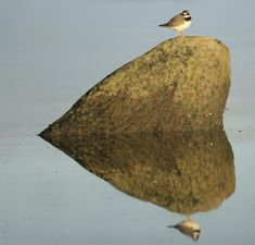 This Little Ringed Plover sat on a rock and its reflection making a love heart. God's Heart, I Love Heart, Key To My Heart, With All My Heart, Happy Heart, Heart Art, Heart In Nature, Heart Pictures, Felt Hearts