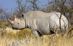 588 rhinos poaches so far this year
