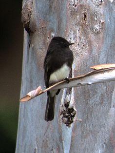 Black Phoebe (Sayornis phoebe)  a tyrant-flycatcher. SW OR & CA south thru Cnt & S.A.
