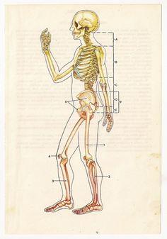 Vintage Anatomical Prints Medical Diagrams skull skeleton   from https://www.etsy.com/listing/116256070/2-vintage-anatomical-prints-medical