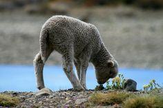 "Mouton devant le fleuve ""Leona"" (Argentine)   Sheep front of the river ""Leona"" (Argentina)   Oveja antes del río ""Leona"" (Argentina)"