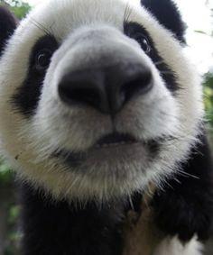 ohh you cute little panda bear! Funny Animal Quotes, Funny Animals, Beautiful Creatures, Animals Beautiful, Animals And Pets, Baby Animals, Fat Panda, Panda Bebe, Hello Panda