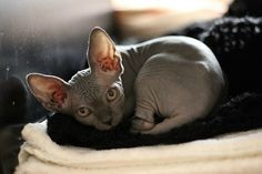 sphinx cat.