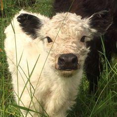 Cute calf 2 hours old